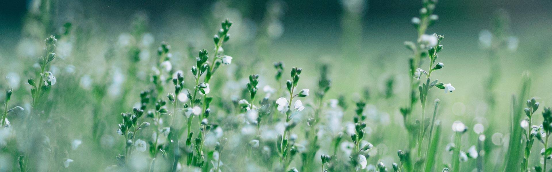 Tall plants with white florals in a green field